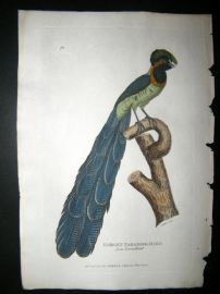 Shaw C1800's Antique Hand Col Bird Print. The Gorget Paradise Bird